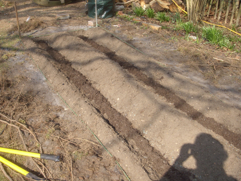 Asparagus crowns and roots tucked up under a blanket of soil.