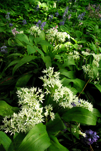 sharingourfoodadventures.com Wild Garlic found in our new garden. Brilliant!