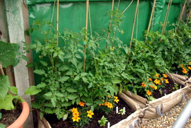 sharingourfoodadventures.com Our Tomatoes growing against the fence