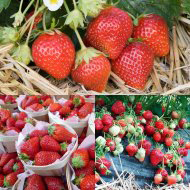 sharingourfoodadventures.com French Strawberry plants (courtesy of Pomona Fruits)