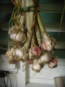 Rosy Garlic drying in our shed