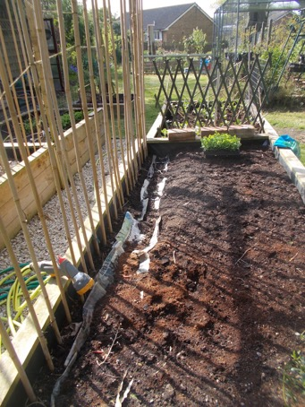 Preparing trench for Runner Beans.