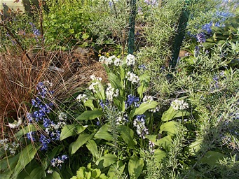 Our Wild Garlic flowers & Bluebells.