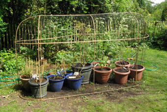 sharingourfoodadventures.com Our temporary fruit cage, filled to overflowing with berries in pots.