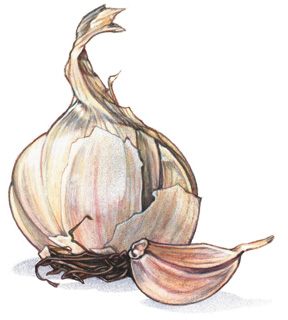 Garlic Bulb & Clove