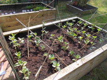 Broad Beans doing well.